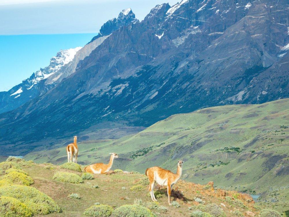 Guanako Lamas im Torres del Paine