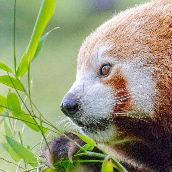 Pandas in Nepal