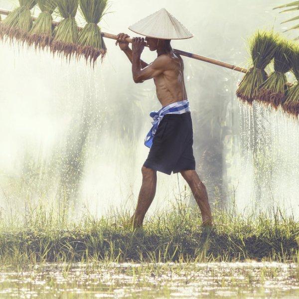 Reis Feld in Vietnam