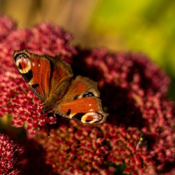 Schmetterling auf roter Blume in der Rhoen, Hessen